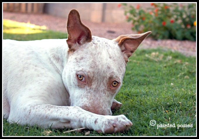 Cattle dog pit bull mix puppy