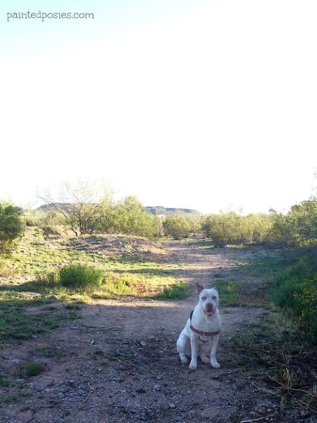 Cattle Dog, Phoenix, Desert Path