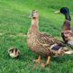 Wandering Eye Wednesday Ducks May 2015
