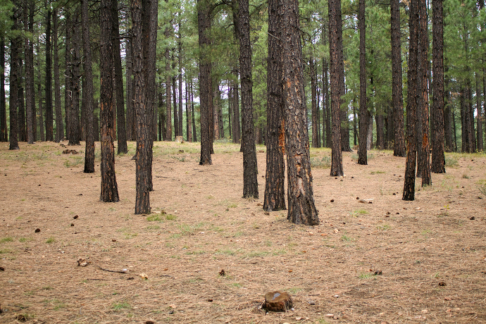 Wandering Eye Wednesday Flagstaff Pinetree Floor paintedposies
