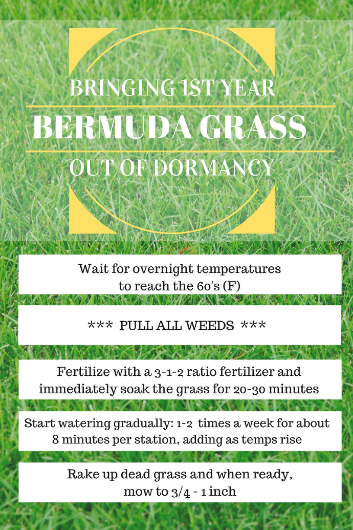 Bringing 1st Year Bermuda Grass Out of Dormancy paintedposies.com